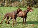 Доберман (Dobermann, Doberman) / Породы собак / Уход, советы, бесплатные объявления, форум, болезни