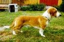 Древер (Drever, Swedish Dachsbracke) / Породы собак / Породы собак: Охотничие: Уход, советы, бесплатные объявления, форум, болезни