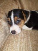 Фотографии к статье: Джек-рассел-терьер (Jack Russell Terrier) / Советы по уходу и воспитанию породы собак, описание собаки, помощь при болезнях, фотографии, дискусии и форум.