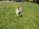 Джек-рассел-терьер (Jack Russell Terrier)