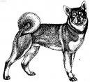Емтхунд (шведская лайка) (Jamthund, Swedish Elkhound) / Породы собак / Породы собак: Северные: Уход, советы, бесплатные объявления, форум, болезни