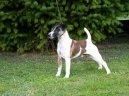 Фокстерьер гладкошерстный (Fox Terrier Smooth) / Породы собак / Уход, советы, бесплатные объявления, форум, болезни
