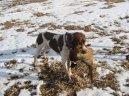 Французский бракк (гасконский тип) (French Pointing Dog Gascogne Type, Braque Francais, type Gaascogne) / Породы собак / Породы собак: Охотничие: Уход, советы, бесплатные объявления, форум, болезни