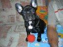 Фотографии к статье: Французский бульдог (Bouledogue francais, French Bulldog) / Советы по уходу и воспитанию породы собак, описание собаки, помощь при болезнях, фотографии, дискусии и форум.