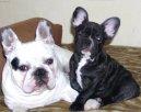 Французский бульдог (Bouledogue francais, French Bulldog) / Породы собак / Породы собак: Декоративные: Уход, советы, бесплатные объявления, форум, болезни