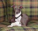 Грейхаунд (английская борзая) (Greyhound)