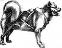 Фотографии к статье: Грёнландхунд (гренландская собака) (Greenland Dog) / Советы по уходу и воспитанию породы собак, описание собаки, помощь при болезнях, фотографии, дискусии и форум.