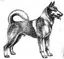 Ханаанская собака (Canaan Dog) / Породы собак / Породы собак: Шпицы и примитивные породы: Уход, советы, бесплатные объявления, форум, болезни