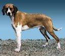 Хигенхунд (Hygenhund, Hygen Hound)
