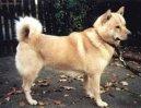 Хоккайдо (Hokkaido, Ainu Dog)