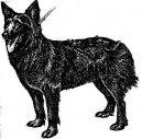 Хорватская овчарка (Croatian Shepherd Dog) / Породы собак / Уход, советы, бесплатные объявления, форум, болезни