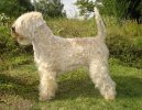 Ирландский мягкошерстный пшеничный терьер (Irish Soft Coated Wheaten Terrier)