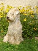 Ирландский мягкошерстный пшеничный терьер (Irish Soft Coated Wheaten Terrier) / Породы собак / Породы собак: Охотничие: Уход, советы, бесплатные объявления, форум, болезни