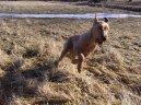 Ирландский терьер (Irish Terrier) / Породы собак / Породы собак: Охотничие: Уход, советы, бесплатные объявления, форум, болезни