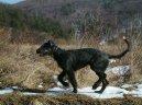 Ирландский волкодав (Irish Wolfhound)