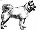 Исландская собака (Iselandsk Farehond / Icelandic sheepdog)