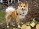 Исландская собака (Iselandsk Farehond / Icelandic sheepdog) / Породы собак / Породы собак: Северные: Уход, советы, бесплатные объявления, форум, болезни
