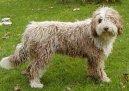 Испанская водяная собака (Spanish Water Dog) / Породы собак / Породы собак: Охотничие: Уход, советы, бесплатные объявления, форум, болезни
