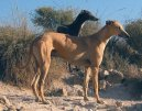 Испанский гальго (Spanish Greyhound, Galgo espanol)