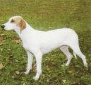 Истрийская короткошерстная гончая (Istrian short-haired Hound) / Породы собак / Породы собак: Охотничие: Уход, советы, бесплатные объявления, форум, болезни