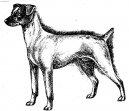 Японский терьер (Japanese Terrier, Nihon Terrier) / Породы собак / Уход, советы, бесплатные объявления, форум, болезни