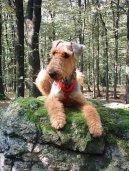 Эрдельтерьер (Airedale Terrier) / Породы собак / Породы собак: Большого размера: Уход, советы, бесплатные объявления, форум, болезни