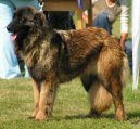 Эштрельская овчарка (Estrela Mountain Dog) / Породы собак / Уход, советы, бесплатные объявления, форум, болезни