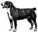 Этленбухер-зенненхунд (Entlebucher Sennenhund) / Породы собак / Уход, советы, бесплатные объявления, форум, болезни