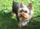Фотографии к статье: Йоркширский терьер (Yorkshire Terrier) / Советы по уходу и воспитанию породы собак, описание собаки, помощь при болезнях, фотографии, дискусии и форум.
