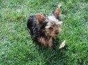 Йоркширский терьер (Yorkshire Terrier)