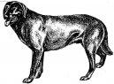 Кастру-лаборейру (Cao de Castro Laboreiro) / Породы собак / Уход, советы, бесплатные объявления, форум, болезни