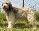 Каталонская овчарка (Catalan Sheepdog) / Породы собак / Уход, советы, бесплатные объявления, форум, болезни