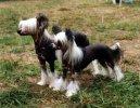 Китайская хохлатая собачка (Chinese Crested Dog) / Породы собак / Породы собак: Декоративные: Уход, советы, бесплатные объявления, форум, болезни