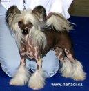 Китайская хохлатая собачка (Chinese Crested Dog)