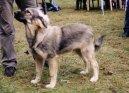 Краски-овчар (иллирийская собака) (Kraski Ovcar) / Породы собак / Уход, советы, бесплатные объявления, форум, болезни