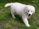 Кувас (Kuvasz) / Породы собак / Уход, советы, бесплатные объявления, форум, болезни