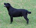 Лабрадор-ретривер (Labrador Retriever) / Породы собак / Уход, советы, бесплатные объявления, форум, болезни
