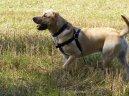 Лабрадор-ретривер (Labrador Retriever)