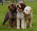Фотографии к статье: Лаготто-романьоло (Romagna Water Dog / Lagotto Romagnolo) / Советы по уходу и воспитанию породы собак, описание собаки, помощь при болезнях, фотографии, дискусии и форум.