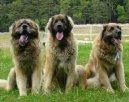Леонбергер (Leonberger) / Породы собак / Уход, советы, бесплатные объявления, форум, болезни