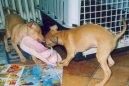 Левретка (маленькая итальянская борзая) (Italian Greyhound)