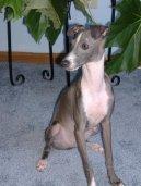 Левретка (маленькая итальянская борзая) (Italian Greyhound) / Породы собак / Породы собак: Борзые: Уход, советы, бесплатные объявления, форум, болезни