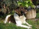 Малый мюнстерлендер (Kleiner Munsterlander Vorstehhund) / Породы собак / Уход, советы, бесплатные объявления, форум, болезни