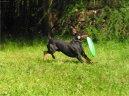 Манчестерский терьер (Manchester Terrier)