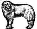 Мареммо-абруццкая овчарка (Maremma and Abruzzes Sheepdog)