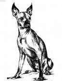 Мексиканская голая собака (Xoloitzquintle)