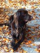 Немецкая длинношерстная легавая (Deutsch Langhaar) / Породы собак / Породы собак: Континентальные легавые: Уход, советы, бесплатные объявления, форум, болезни