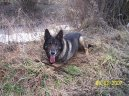 Немецкая овчарка (German Shepherd Dog)