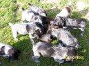 Немецкая жесткошерстная легавая (дратхаар) (Deutcscher Drahthaariger Vorstehhund)