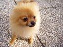 Немецкий шпиц (Deutscher spitz - Zwerspitz, German Spitz - Pomeranian) / Породы собак / Породы собак: Маленького размера: Уход, советы, бесплатные объявления, форум, болезни